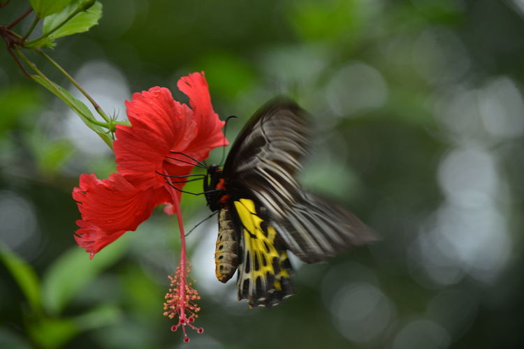 Close-Up Of Black Butterfly On Hibiscus Flower