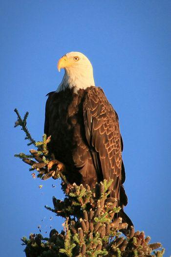 Learn & Shoot: Simplicity Birds_collection Bald Eagle Minnesota Nature Eyem Best Shots