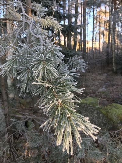 Frosty pine needels Stockholm, Sweden Pine Needles Frosty Pine The Week on EyeEm Tree Nature Pine Tree Forest Focus On Foreground Spruce Tree Pinaceae Cold Temperature Green Color Outdoors Day Winter Beauty In Nature Shades Of Winter