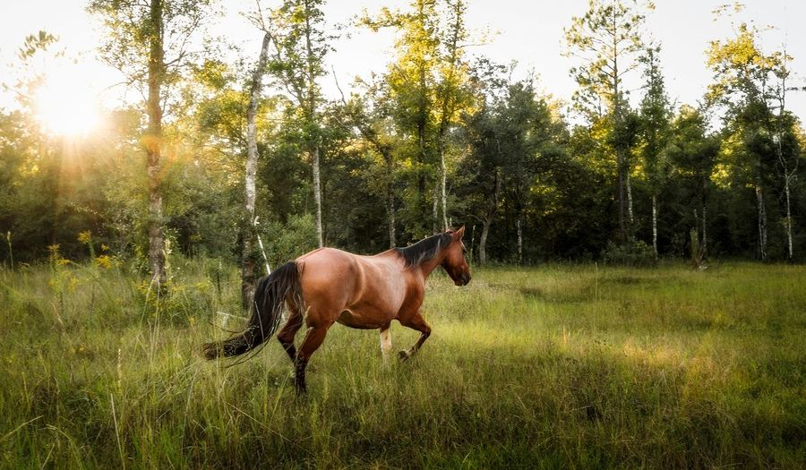 Horse running in field with golden light.