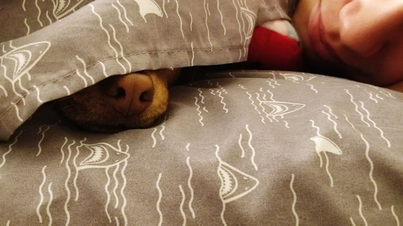 Covered Peekaboo Sleeping Dog Photography Dog Snout Nose Dog Nose Shark Sharks Sheets Dog Puppy Cute Morning Wake Up Snuggles Snuggle Dog Love Indoors  Lying Down Sleeping People