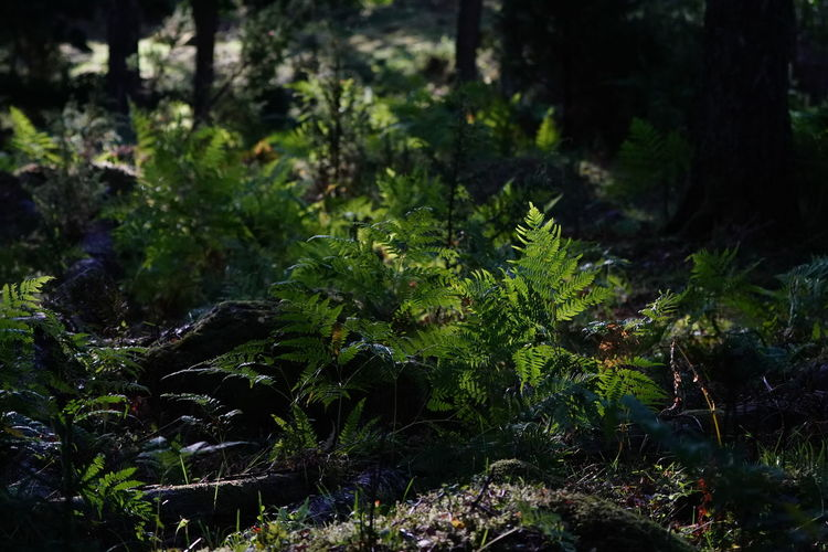 Beauty In Nature Day Field Focus On Foreground Foliage Forest Freshness Green Color Growth Land Leaf Moss Nature No People Outdoors Plant Plant Part Selective Focus Tranquility Tree