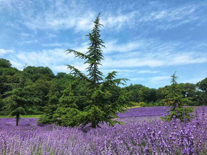 Lavender Plant Sky Cloud - Sky Tree Nature Growth No People