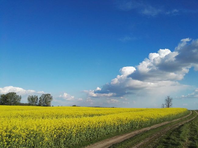 Field Crop  Yellow Nature Sky Cloud - Sky Blue Flower Beauty In Nature Plant