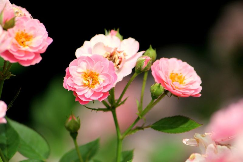 Flower Flowering Plant Plant Beauty In Nature Freshness Pink Color Petal Fragility Vulnerability  Close-up Flower Head Nature