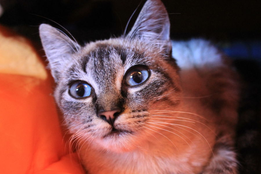 Cat Original Pets Cute Pets