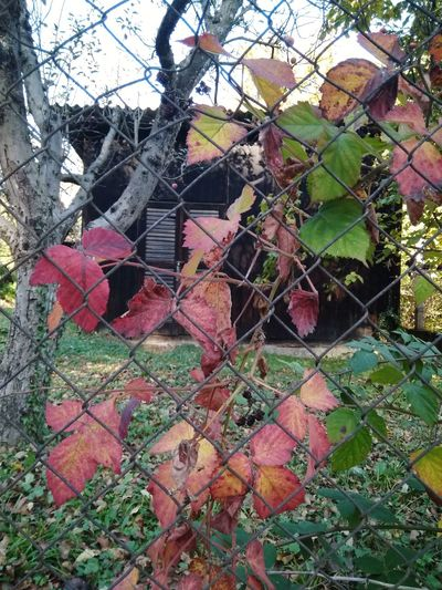 Old Hause Autumn Leaves Tree Leaf Ivy Protection Chainlink Fence Sky Plant Architecture Fence