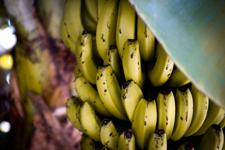 Close-up of bananas growing on plant