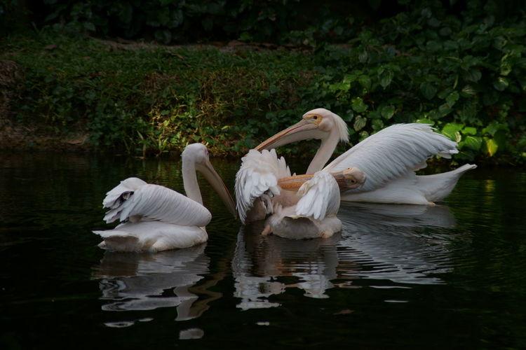 Pelican Bird