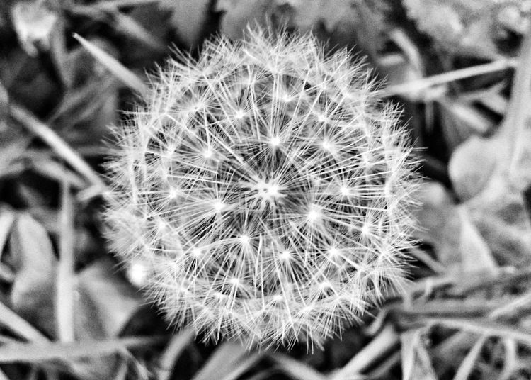Fragility Dandelion Freshness Softness Botany Nature Plant Beauty In Nature Close-up Seeds Fluffy Backgrounds In Bloom Delicate Fragile Beauty In Nature Patterns In Nature Intricate Photography Blackandwhite Photography Detail Nature Photography Nature On Your Doorstep Beautiful Nature Perfect Seeds Of Life