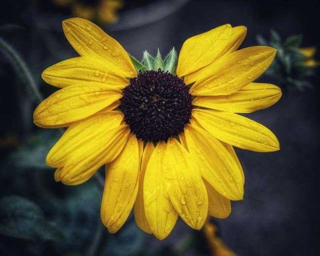 Sunflower Sunflower Yellow Flower Flowering Plant Flower Head Fragility Petal Vulnerability  Freshness Close-up Beauty In Nature Plant Growth No People Nature Outdoors