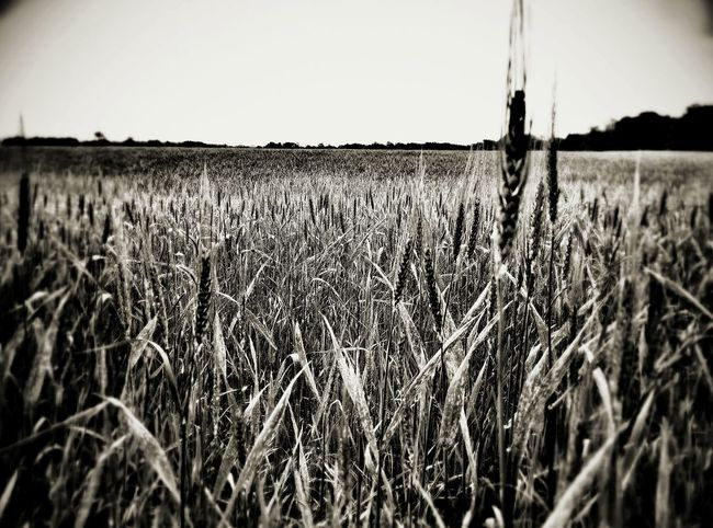 Wheat field, after a summer rain, country landscape, texas The Week On EyeEm