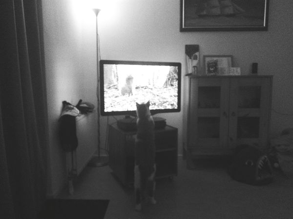 Cat Watching TV Sqirrel Playing (c) 2017 Shangita Bose All Rights Reserved Indoors  Arts Culture And Entertainment Night Animal Themes No People Mammal One Animal Bikkel And Buddy Kat Cat Tv AI Now