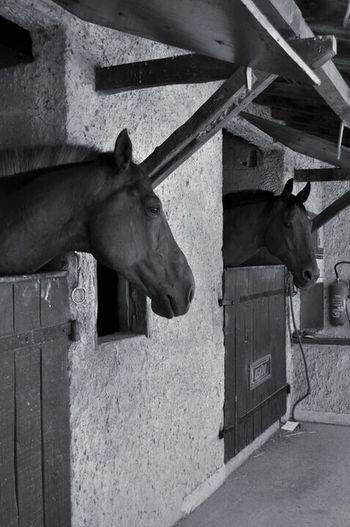 Horses Black