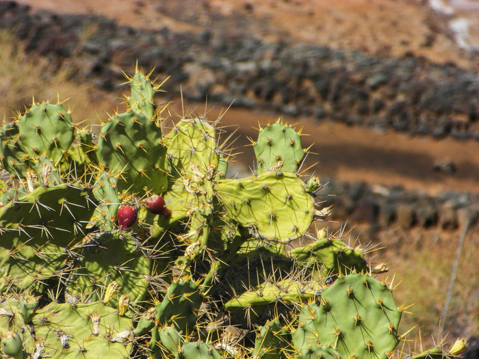 Cactus SPAIN Beauty In Nature Cactus Day Focus On Foreground Green Color Nature No People Outdoors Plant Prickly Pear Cactus Spiked Summer Summer Exploratorium The Great Outdoors - 2018 EyeEm Awards