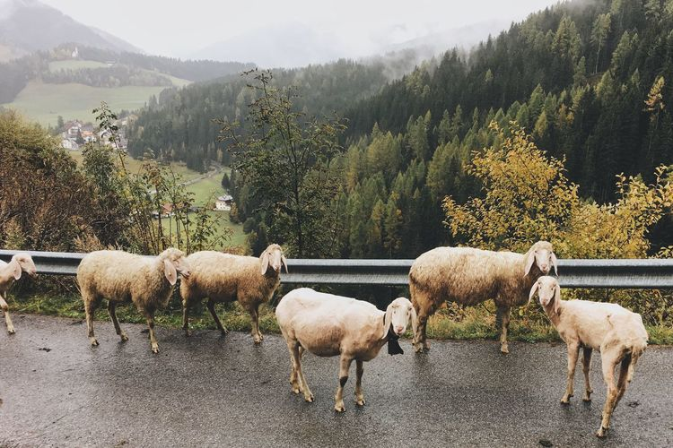 Thinks you see while hiking Sheep Alps Nature WeLoveNature  Vscocam VSCO Photooftheday Southtyrol  Animal TravelTuesday Sheeps Mountain Mountainlove