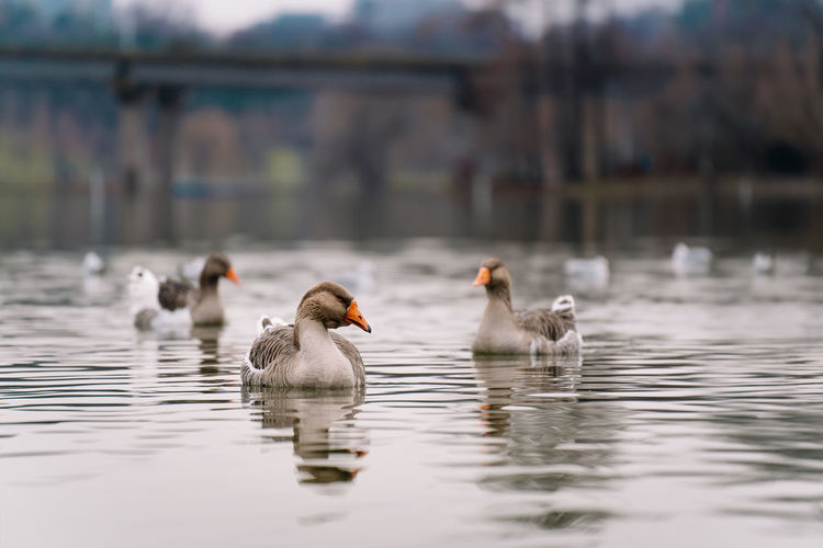 Geese swimming in lake