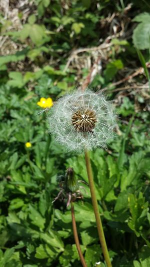 Nature Fragility Plant Outdoors Growth Close-up Flower Beauty In Nature No People Flower Head Dandelion Seed Dandelion Collection Dandelion Close-up Blowing In The Wind  Blowseeds