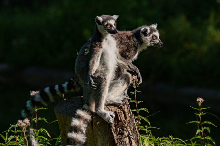 Lemurs sitting on tree stump