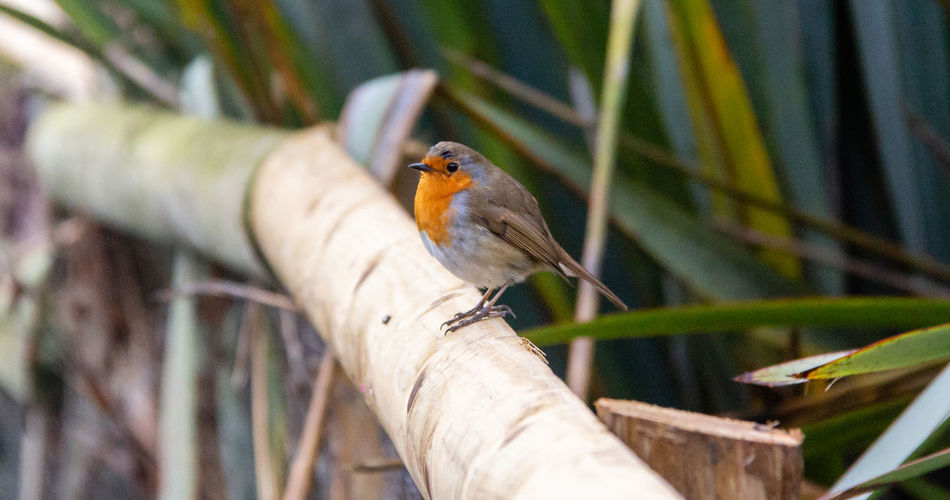 Bird Robin One Animal Perching Focus On Foreground Beauty In Nature Day Outdoors Animal Wildlife Robin Redbreast