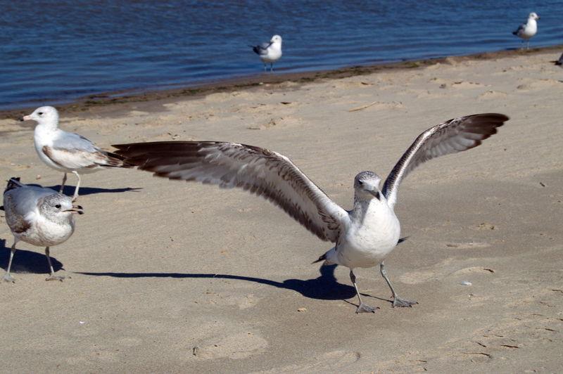 Beach Birds Chesapeake Bay Day Nature Oca Ocean View Ocean Views Outdoors Sand Sea Gull