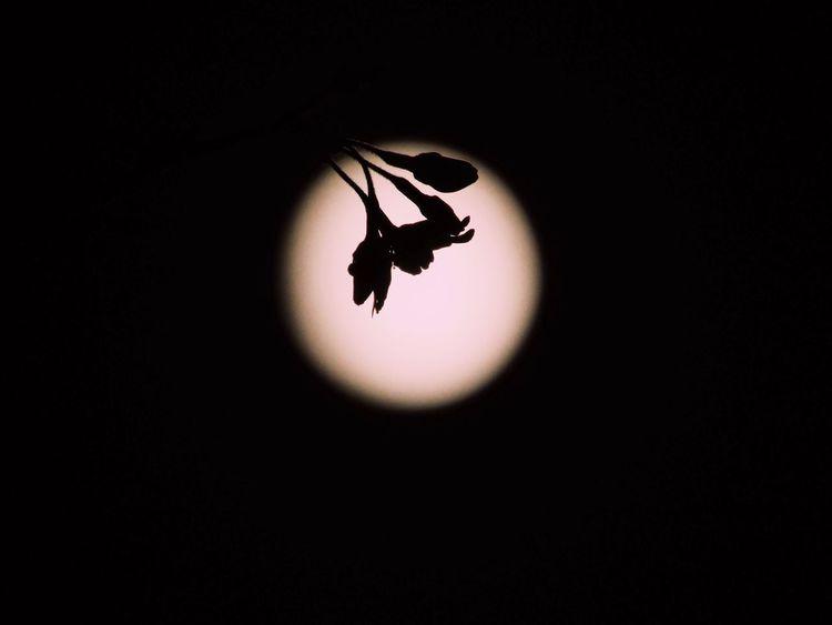 「北へ向かうことを、知っているよね。」 Tokyo,Japan 夜桜 Nightphotography No Standard World Sakura Blue Moon Full Moon Silhouette Nature