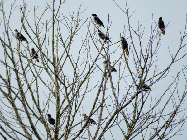 Jalak Myna Bare Tree Bird Clear Sky No People Tree Low Angle View Nature Branch Outdoors Animals In The Wild Day Sky Beauty In Nature Animal Themes