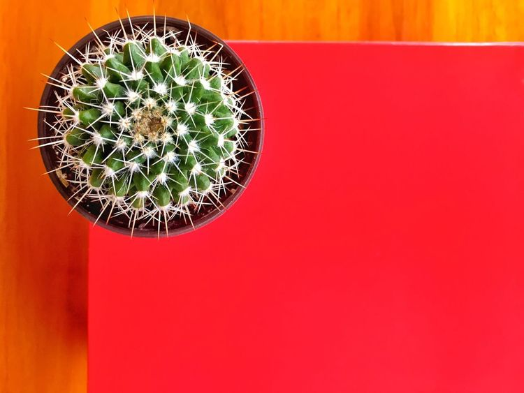 No People Red Indoors  Close-up Colored Background Decoration Green Color Pattern Cactus Red Background Plant