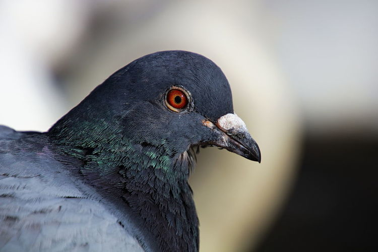 Pigeon Feathers Animal Wildlife Animals In The Wild Beak Beauty In Nature Bird Blue-green Close Up Close-up Eyes Focus On Foreground Nature One Animal Orange Eye Pigeon Red Eye Red Eyes Wildlife