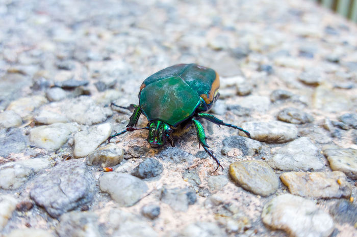 Bug Green Animal Themes Animal Wildlife Animals In The Wild Beetle Close-up Day Insect Nature No People One Animal Outdoors Rock - Object Shelf