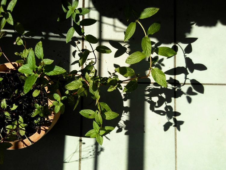 Pepperminta with Shadow Leaf Growth Plant Close-up Creeper Plant Green Color Shadow Nature Growing Beauty In Nature Day Springtime Botany Peppermint Plant Branch Shades Of Nature Shadow Play Green Color Garden Urban Gardening Pfefferminze Visual Creativity