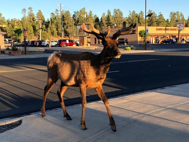 Deer walking on sidewalk in Tusayan, AZ Street Scene Arizona Deer EyeEm Selects Animal Mammal Animal Themes Tree Vertebrate Sunlight Street Animal Wildlife