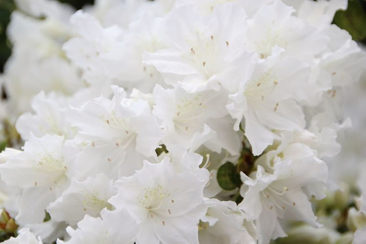 Beauty In Nature Close-up Flower White Azalea White Color