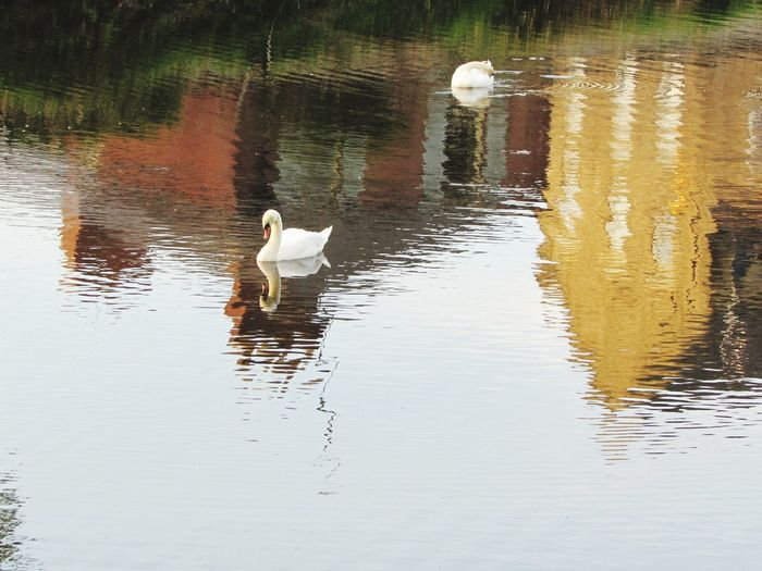 River Wansbeck Morpeth Northumberland Calm Water Diving Swan Bird Water Swimming Swan Lake Reflection Waterfront