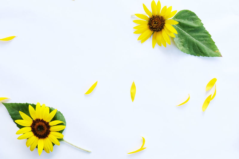 High angle view of sunflower against white background