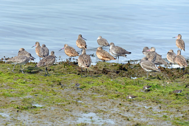 Long-billed Dowitchers @ Haywards Landing 3 Limnodro Scolopaceus Seabird Sandpiper Family Wader Migrant Bird Fresh Water Shallow Water Mudflats Tidal Flats Breeds In Far Northwest Winters From Pacific To Southeast Coasts Diet: Aquatic Invertebrates ,insects, Mollusks,crustaceans, Seed Grasses Birds Birdwatching Birds_collection Bird Photography