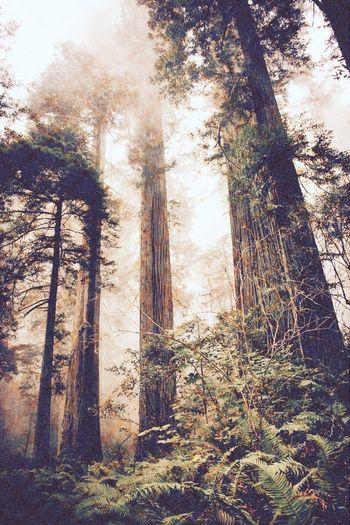 RedwoodRegionalPark Giant Redwoods California Redwoods RedwoodsNationalPark