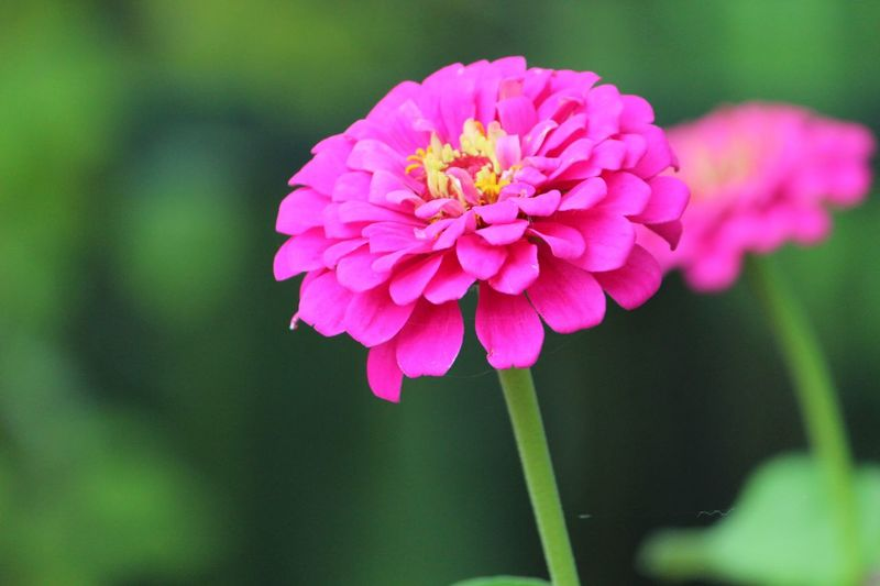Flowering Plant Flower Fragility Freshness Vulnerability  Petal Plant Pink Color Beauty In Nature Close-up Flower Head Outdoors Nature