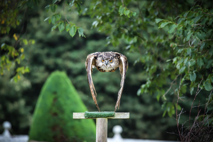 Dunrobin Castle Falconry Animal Animal Wildlife Beauty In Nature Close-up Nature One Animal Owl EyeEmNewHere