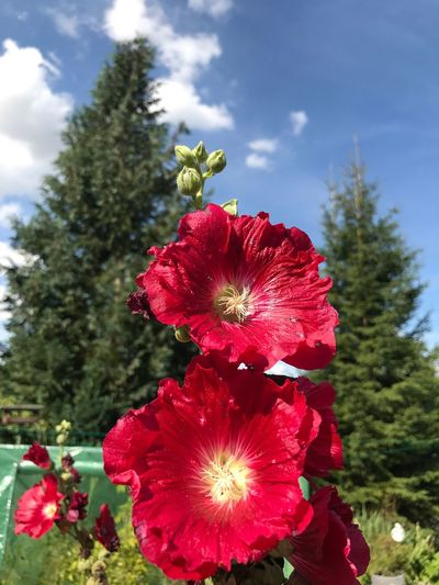 Flower Red Growth Nature Petal Beauty In Nature Flower Head Freshness Fragility Sky Day Plant Outdoors Hibiscus No People Cloud - Sky Blooming Tree Poppy Close-up