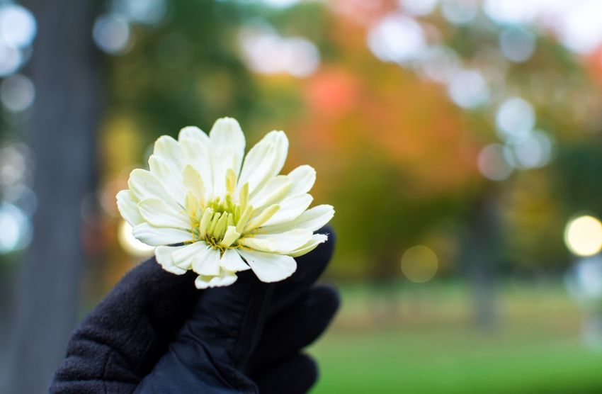 Woman holding white zinnia flower in hand wearing gloves with autumn leaves on trees changing color in background Fall Autumn colors Autumn White Daisy Zinnia  Gloves Touch Flower Flowering Plant Plant Vulnerability  Focus On Foreground Freshness Fragility Beauty In Nature One Person Real People Lifestyles Close-up Inflorescence Leisure Activity Flower Head Day Petal Nature White Color Human Body Part