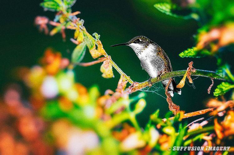 Humming Bird Pocket_family Tadaa Community