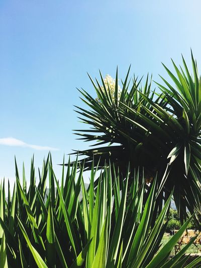 Nature Beauty In Nature Clear Sky No People Close-up Green Color Growth Day Blue Freshness Palm Tree Sky Outdoors Murcia SPAIN Traveling Traveling Photography Air Freshair Freedom Otherworld Imagination Lifeisbeautiful Newbeginning Plants First Eyeem Photo