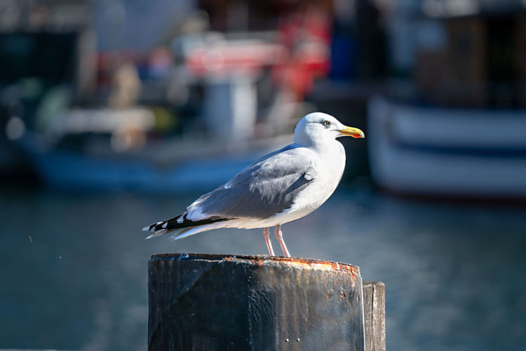 A seagull at the harbor
