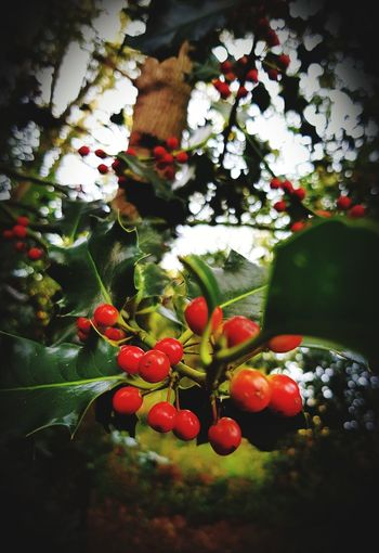 Holly berries.
