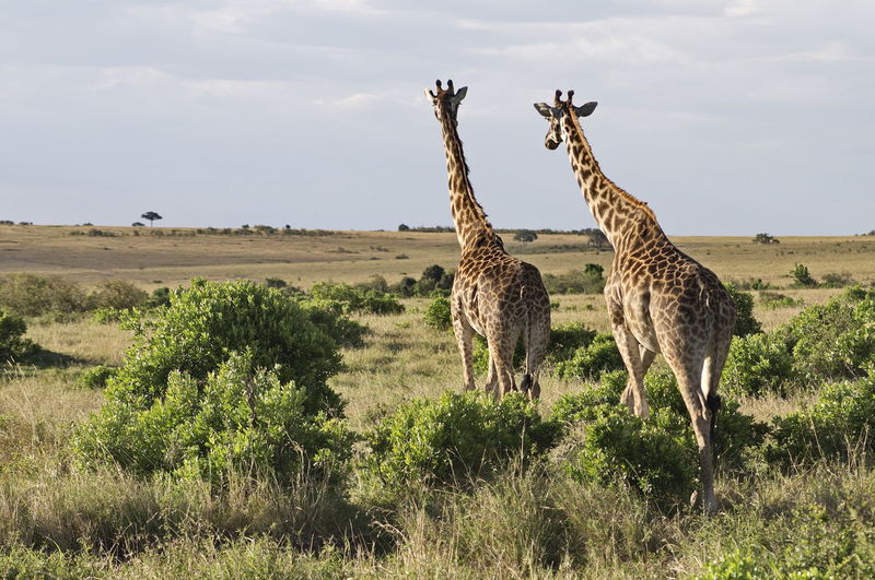 Giraffes in