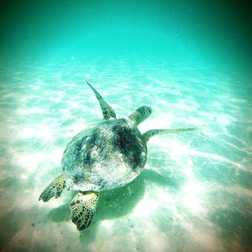 Enjoying Life Underthesea Luckywelivehi Kaneohesandbar Oceanlife Honu Pacific Ocean