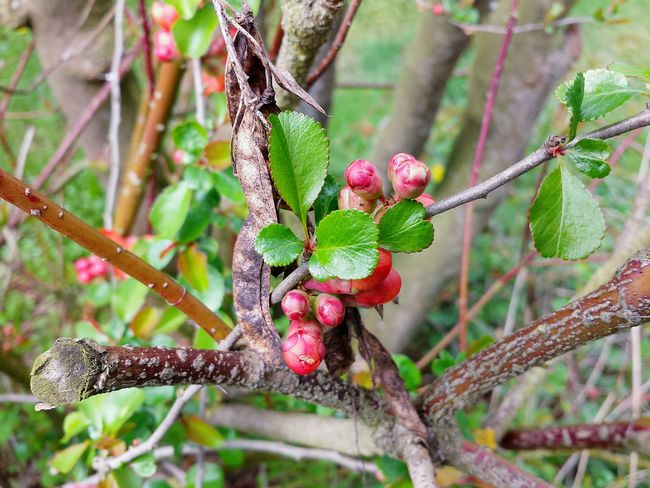 Buds On Branches Buds On Branch Knospen Pink Butter Twigs Twigs And Branches Fresh Green Leaves Still Life Stillleben Nature Beautiful Nature Spring Blossoms Spring Flowers Spring Awakening Frühlingsanfang Frühlingserwachen Spring Report Beginning Of Spring Ladyphotographerofthemonth Awesome Nature Nature Is Art Beauty In Ordinary Things Die Schőnheit Der Natur Heartwarming Beauty In Nature