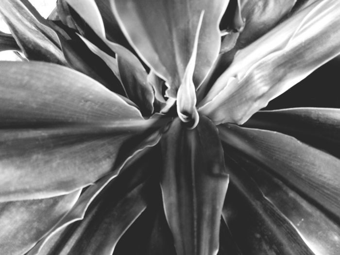 Bllack And White Photography Flower Head Flower Beauty Leaf Backgrounds Petal Springtime Full Frame Botany Abstract