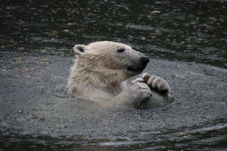 High angle view of  icebear